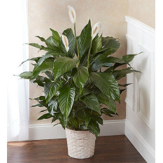 Peace Lily Pflanze (klein)