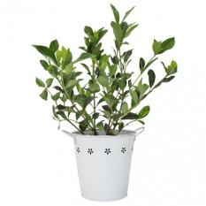 Wunderschöne Gardenia