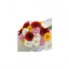 Blumenkasten Gerbera Mischfarben 30 Stk