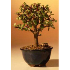 Baby Jade Bonsai Tree - Klein