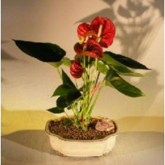 Blühender roter Anthurium-Bonsai-Baum (Small Talk)